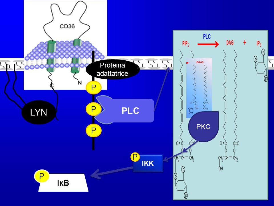 Proteina adattatrice P LYN PLC P PKC P P IKK P IκB NF- κB