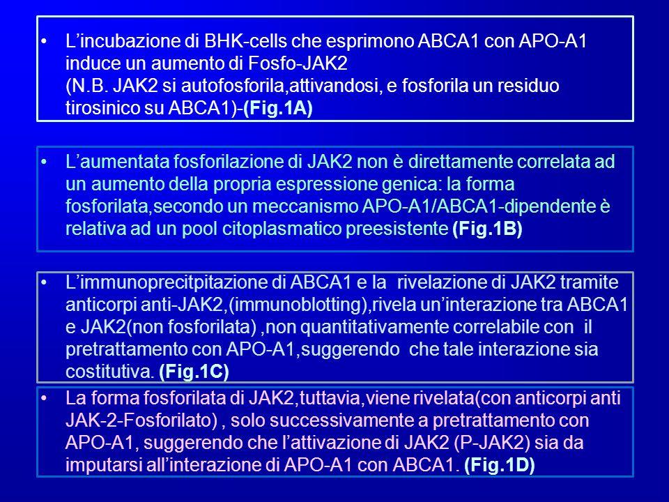 L'incubazione di BHK-cells che esprimono ABCA1 con APO-A1 induce un aumento di Fosfo-JAK2 (N.B. JAK2 si autofosforila,attivandosi, e fosforila un residuo tirosinico su ABCA1)-(Fig.1A)