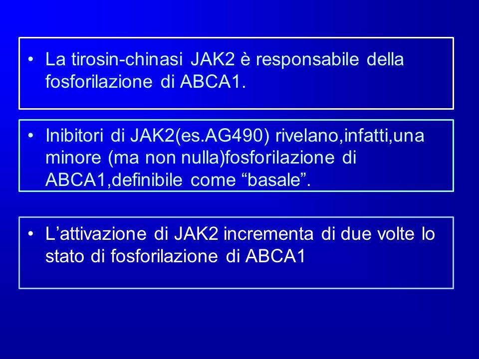 La tirosin-chinasi JAK2 è responsabile della fosforilazione di ABCA1.