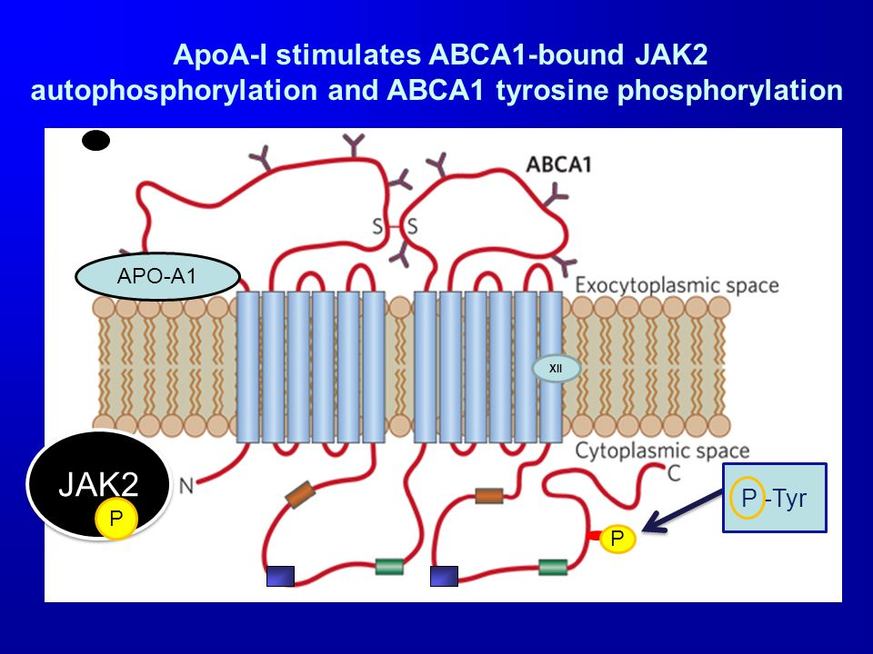 ApoA-I stimulates ABCA1-bound JAK2 autophosphorylation and ABCA1 tyrosine phosphorylation