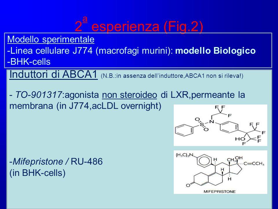 2a esperienza (Fig.2) Modello sperimentale. -Linea cellulare J774 (macrofagi murini): modello Biologico.