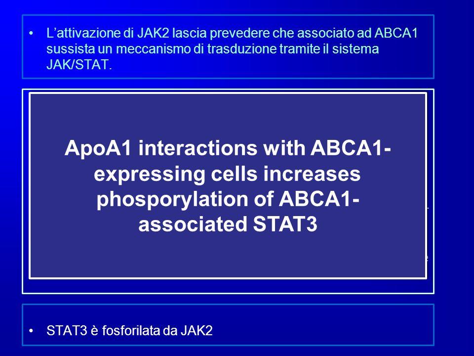 L'attivazione di JAK2 lascia prevedere che associato ad ABCA1 sussista un meccanismo di trasduzione tramite il sistema JAK/STAT.