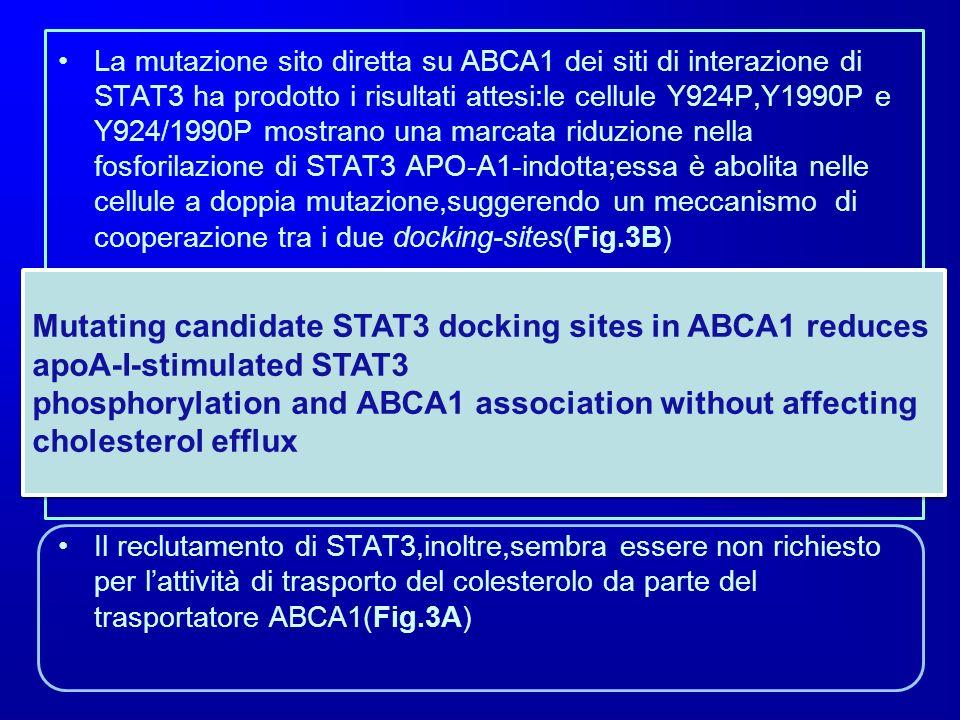 La mutazione sito diretta su ABCA1 dei siti di interazione di STAT3 ha prodotto i risultati attesi:le cellule Y924P,Y1990P e Y924/1990P mostrano una marcata riduzione nella fosforilazione di STAT3 APO-A1-indotta;essa è abolita nelle cellule a doppia mutazione,suggerendo un meccanismo di cooperazione tra i due docking-sites(Fig.3B)