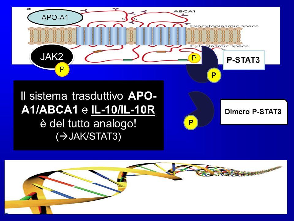 APO-A1 JAK2. P-STAT3. P. P. P. Il sistema trasduttivo APO-A1/ABCA1 e IL-10/IL-10R è del tutto analogo!