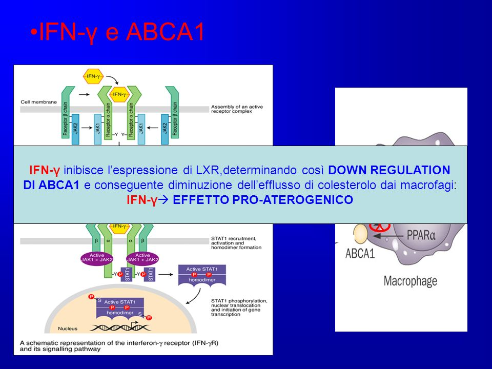 IFN-γ e ABCA1 IFN-γ inibisce l'espressione di LXR,determinando così DOWN REGULATION.