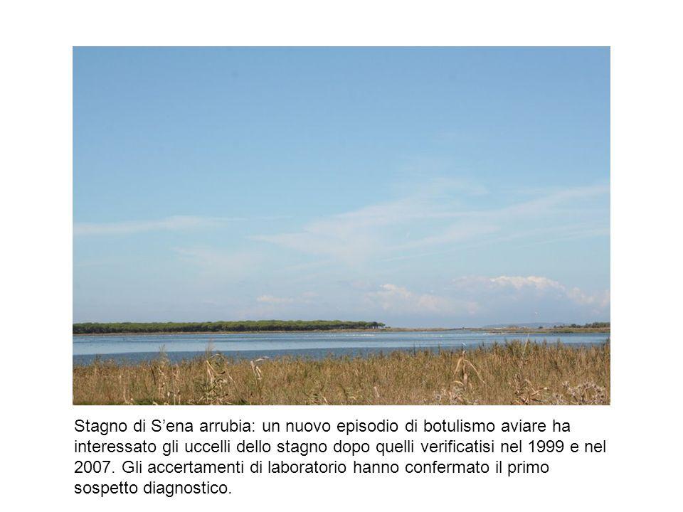 Stagno di S'ena arrubia: un nuovo episodio di botulismo aviare ha interessato gli uccelli dello stagno dopo quelli verificatisi nel 1999 e nel 2007.