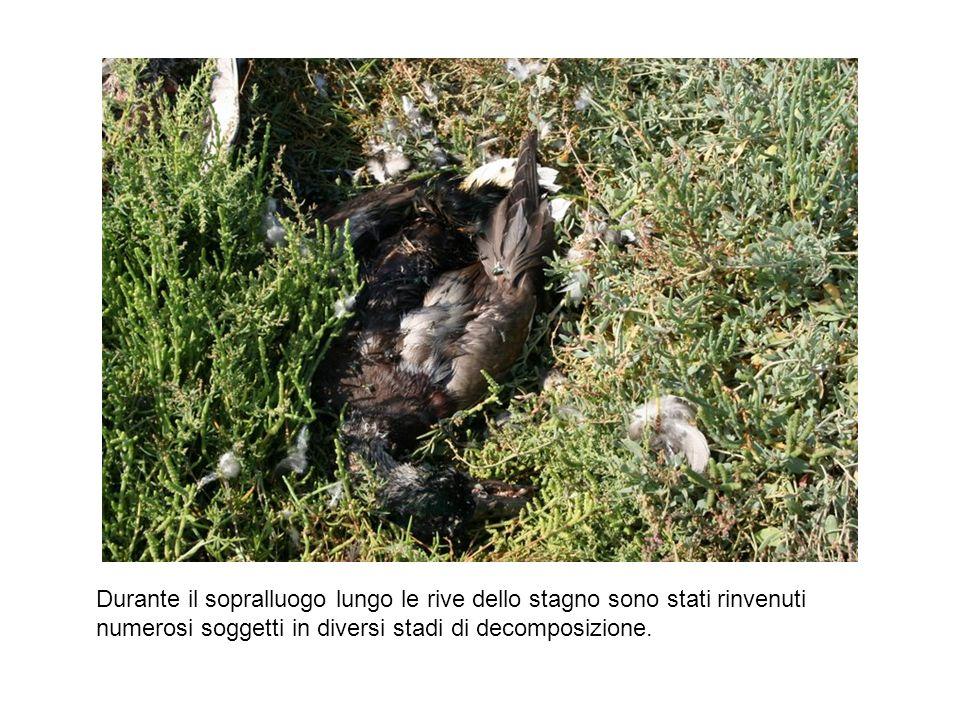 Durante il sopralluogo lungo le rive dello stagno sono stati rinvenuti numerosi soggetti in diversi stadi di decomposizione.
