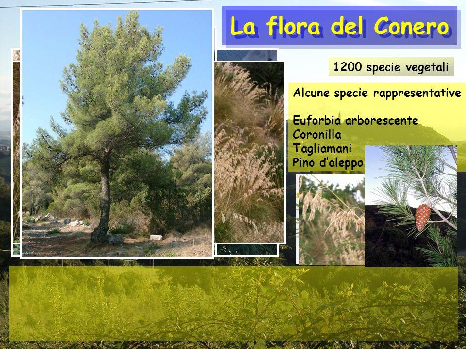 La flora del Conero 1200 specie vegetali Alcune specie rappresentative