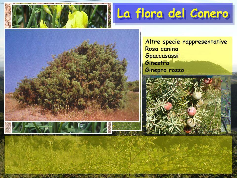 La flora del Conero Altre specie rappresentative Rosa canina