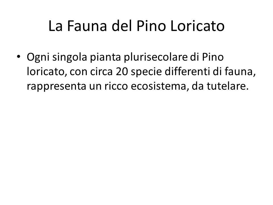 La Fauna del Pino Loricato