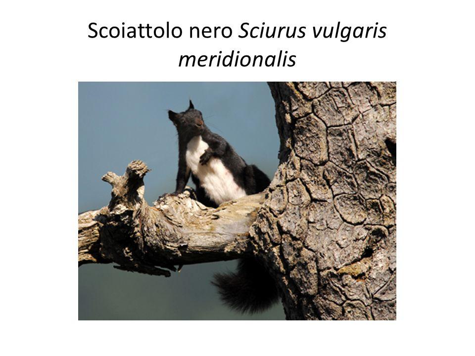 Scoiattolo nero Sciurus vulgaris meridionalis