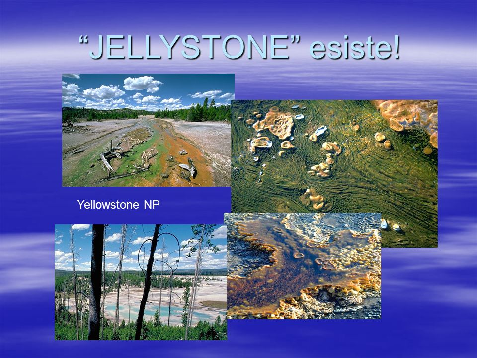 JELLYSTONE esiste! Yellowstone NP