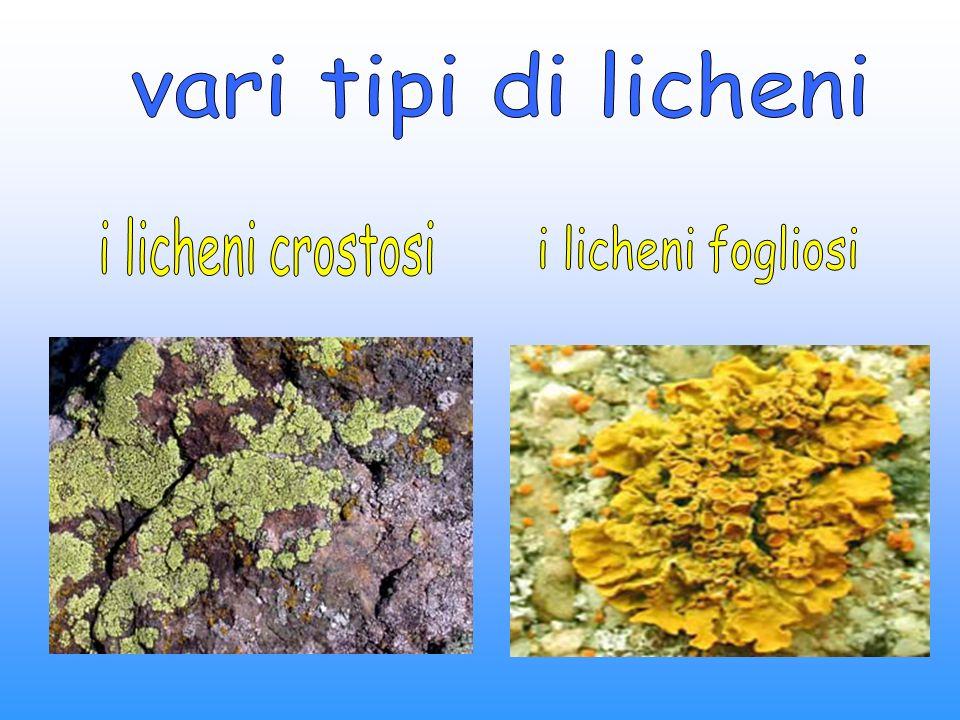 vari tipi di licheni i licheni crostosi i licheni fogliosi