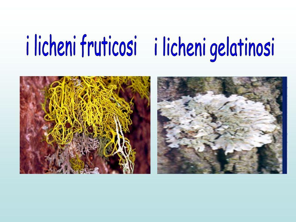i licheni fruticosi i licheni gelatinosi