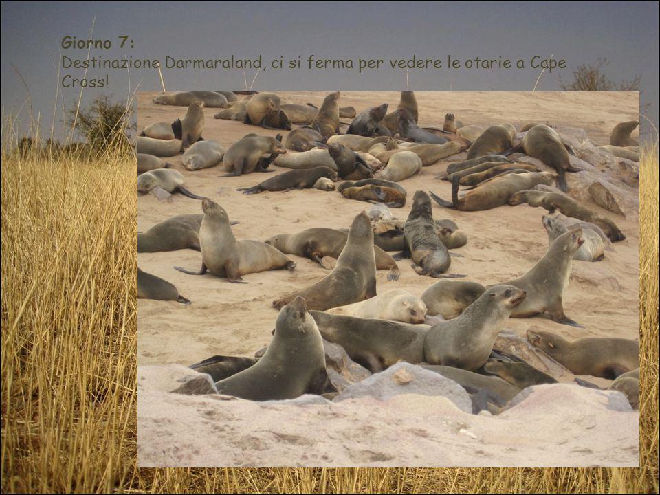 Giorno 7: Destinazione Darmaraland, ci si ferma per vedere le otarie a Cape Cross!