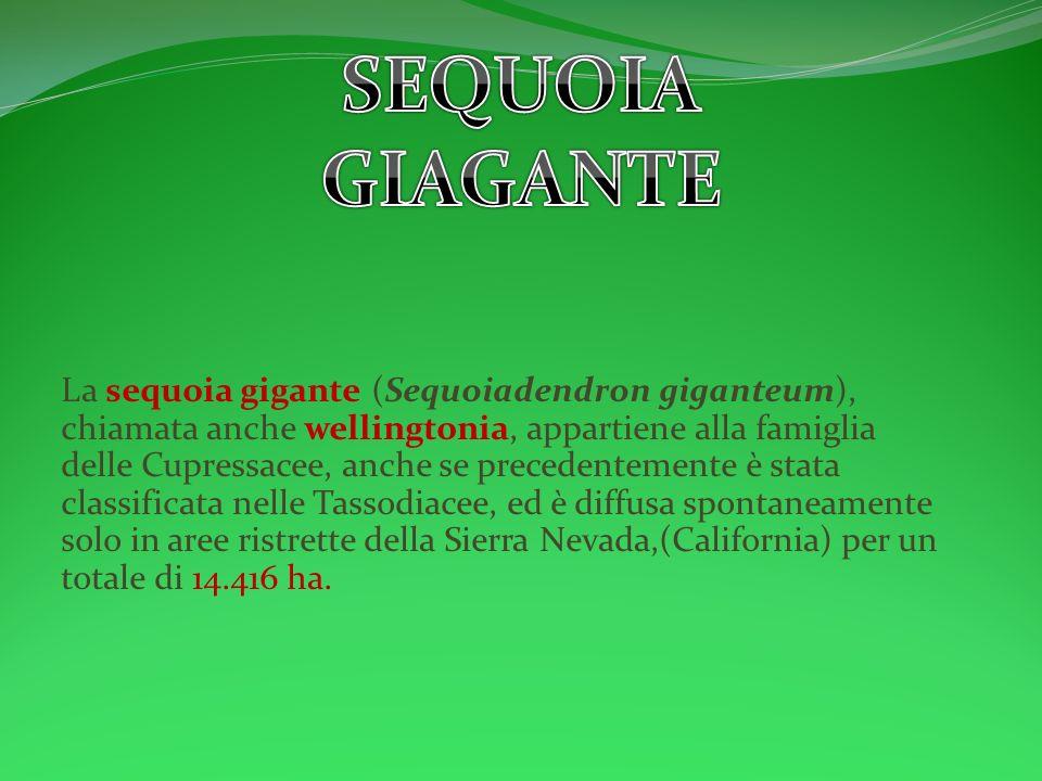 SEQUOIA GIAGANTE.
