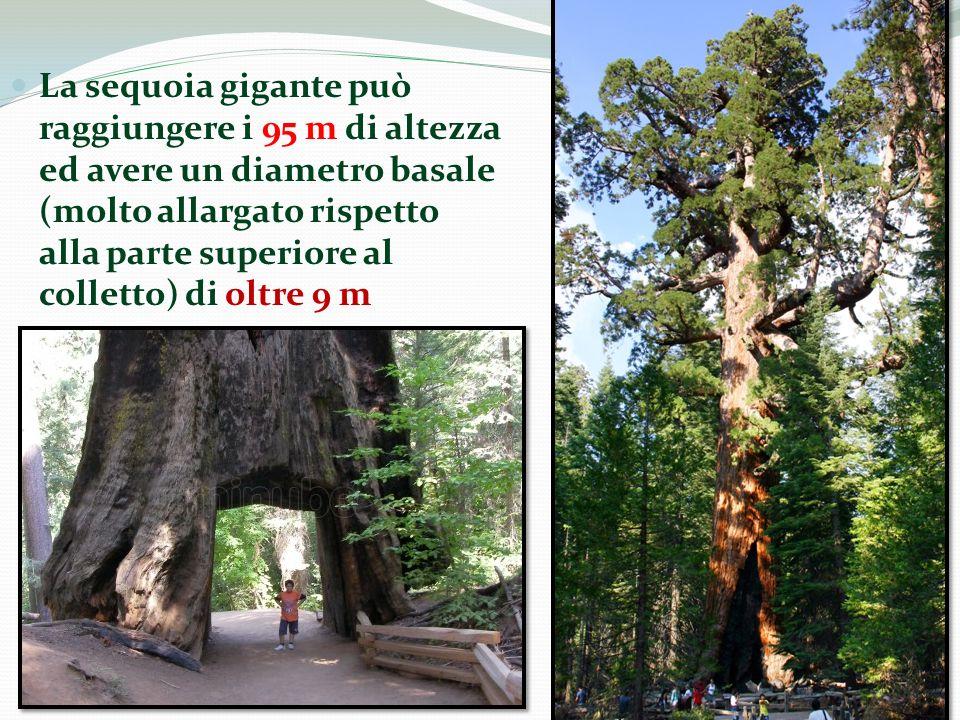 La sequoia gigante può raggiungere i 95 m di altezza ed avere un diametro basale (molto allargato rispetto alla parte superiore al colletto) di oltre 9 m