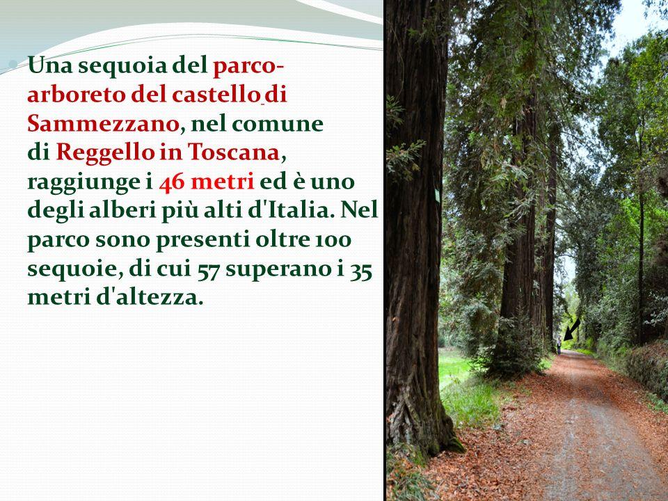 Una sequoia del parco-arboreto del castello di Sammezzano, nel comune di Reggello in Toscana, raggiunge i 46 metri ed è uno degli alberi più alti d Italia.