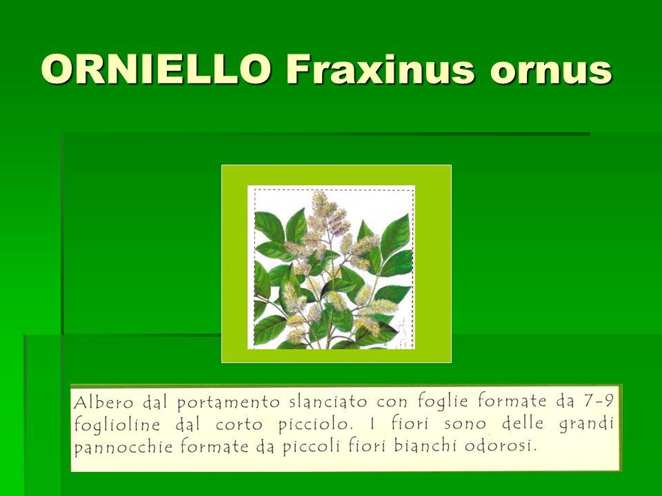 ORNIELLO Fraxinus ornus