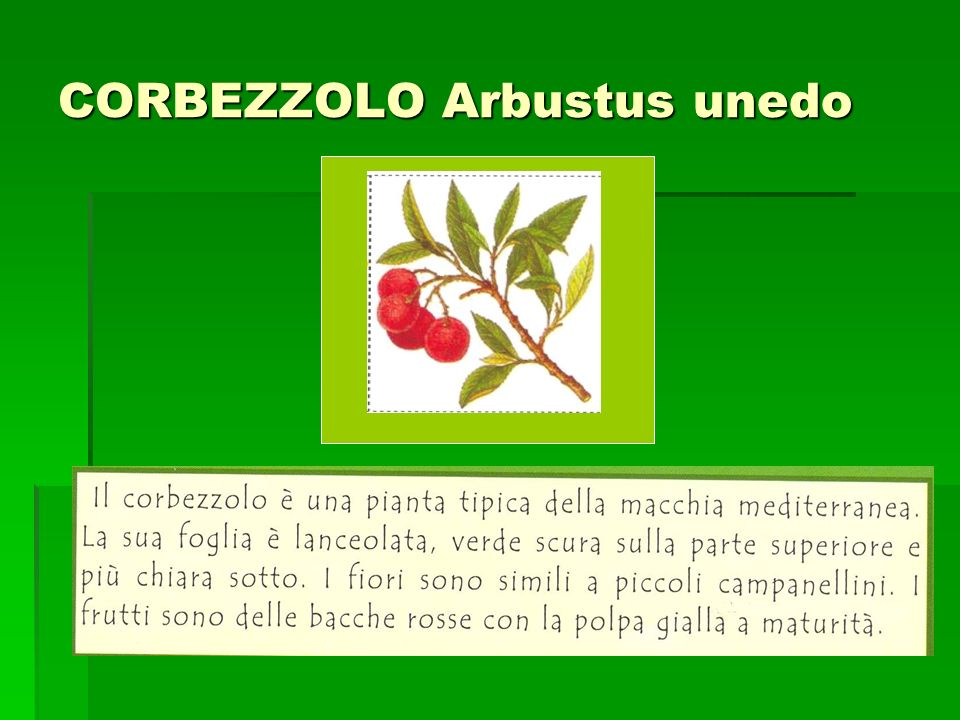 CORBEZZOLO Arbustus unedo