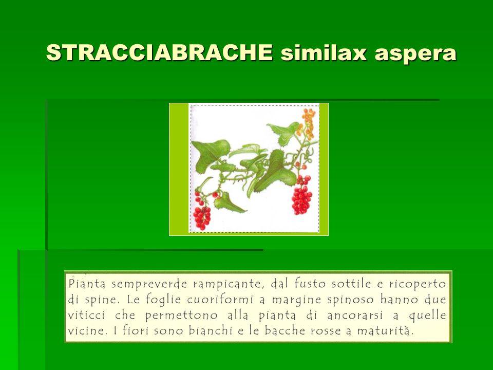 STRACCIABRACHE similax aspera