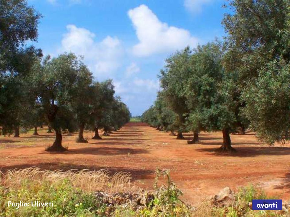 Puglia: Uliveti avanti