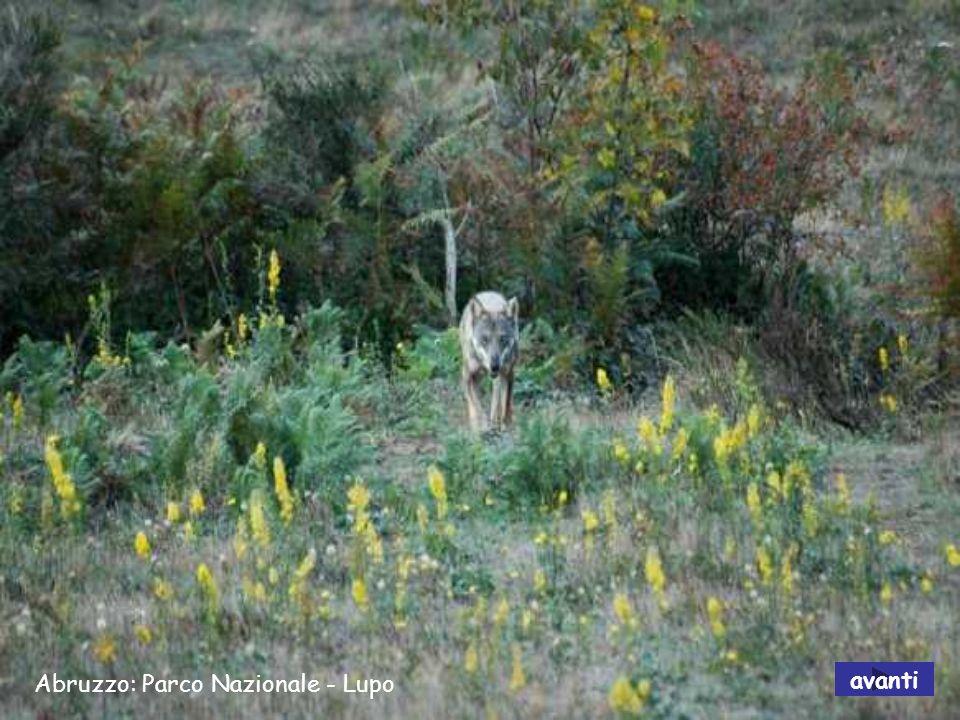 Abruzzo: Parco Nazionale - Lupo