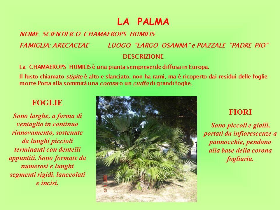 LA PALMA NOME SCIENTIFICO: CHAMAEROPS HUMILIS. FAMIGLIA: ARECACEAE LUOGO LARGO OSANNA e PIAZZALE PADRE PIO