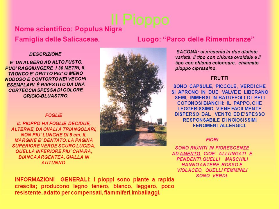 Il Pioppo Nome scientifico: Populus Nigra