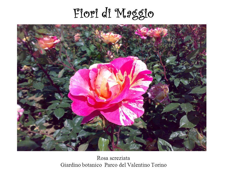 Rosa screziata Giardino botanico Parco del Valentino Torino