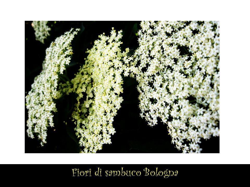 Fiori di sambuco Bologna
