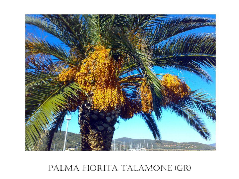 Palma fiorita Talamone (GR)