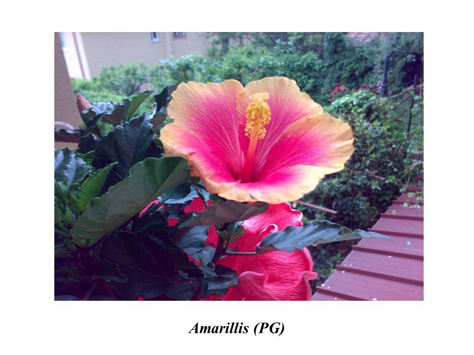 Amarillis (PG)