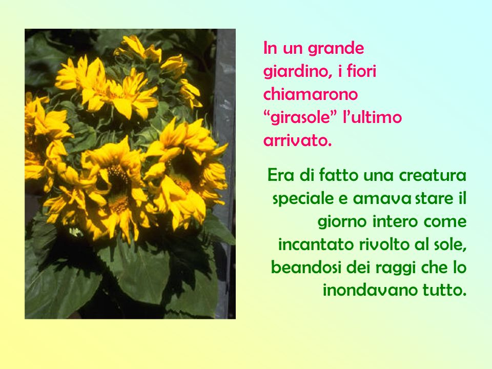 In un grande giardino, i fiori chiamarono girasole l'ultimo arrivato.