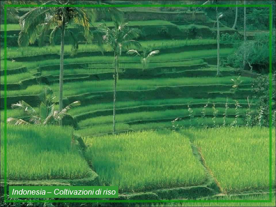 Indonesia – Coltivazioni di riso