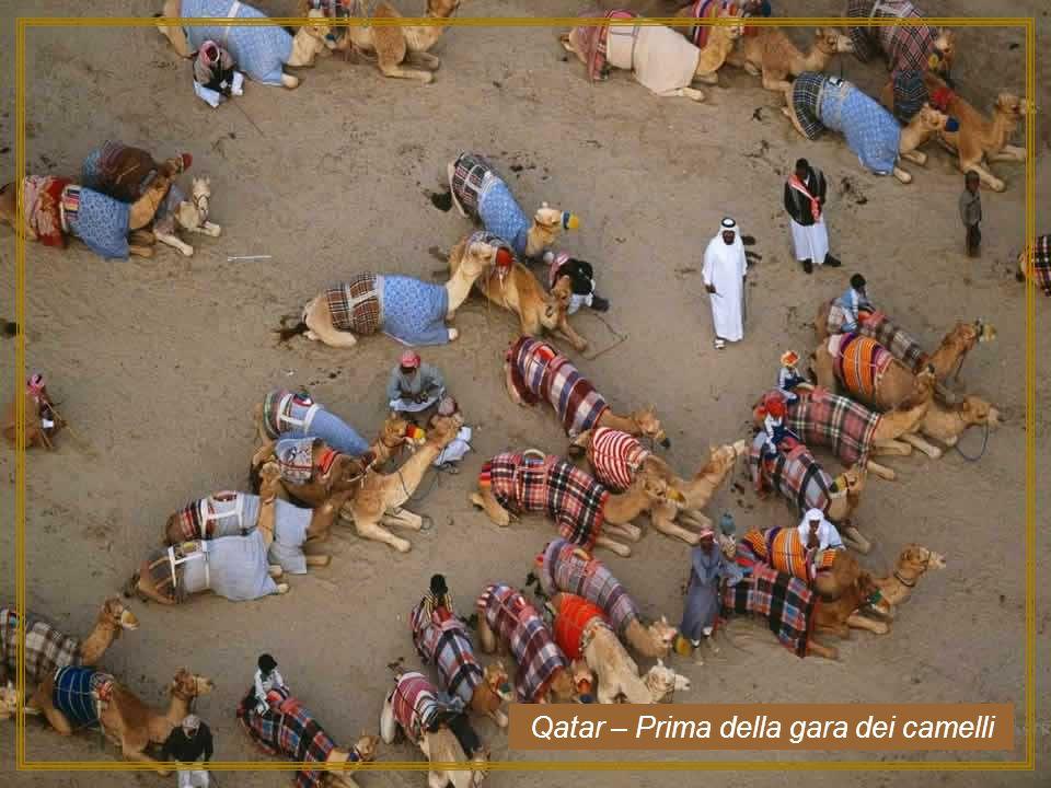 Qatar – Prima della gara dei camelli