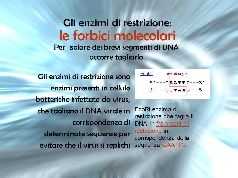 Gli enzimi di restrizione: le forbici molecolari