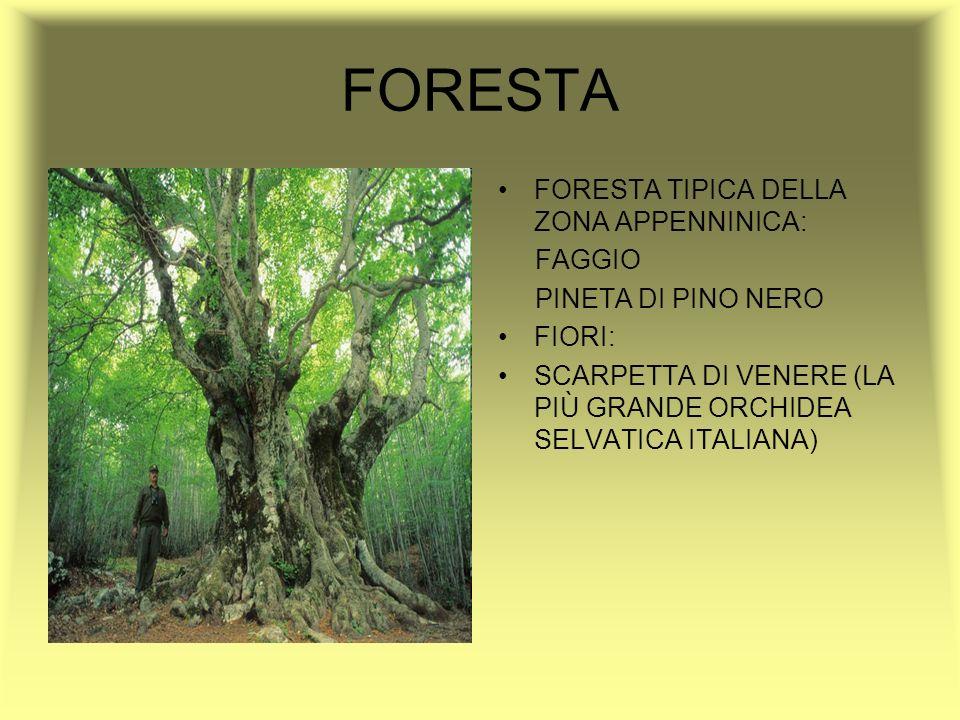 FORESTA FORESTA TIPICA DELLA ZONA APPENNINICA: FAGGIO