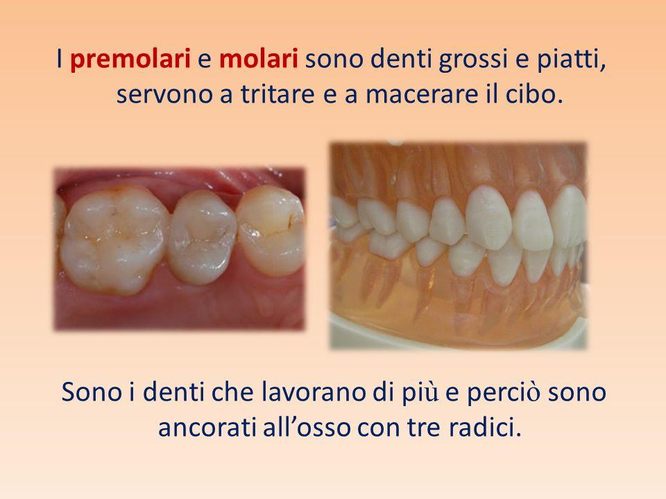 I premolari e molari sono denti grossi e piatti, servono a tritare e a macerare il cibo.