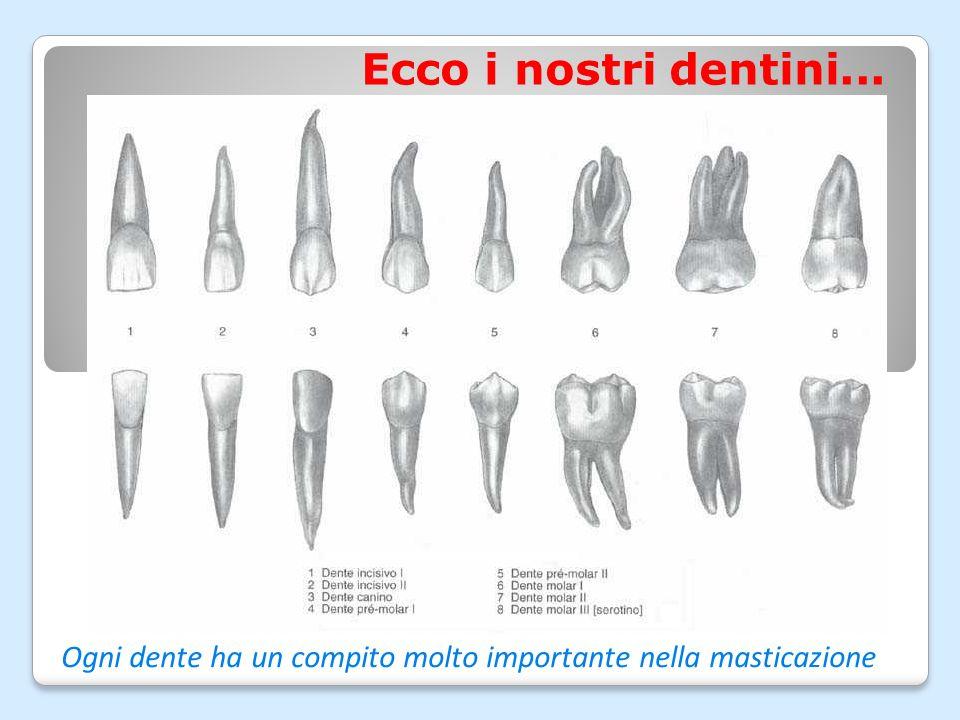Ogni dente ha un compito molto importante nella masticazione
