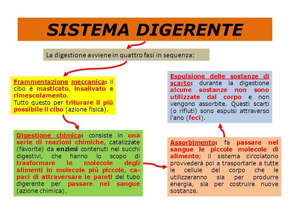 SISTEMA DIGERENTE La digestione avviene in quattro fasi in sequenza: