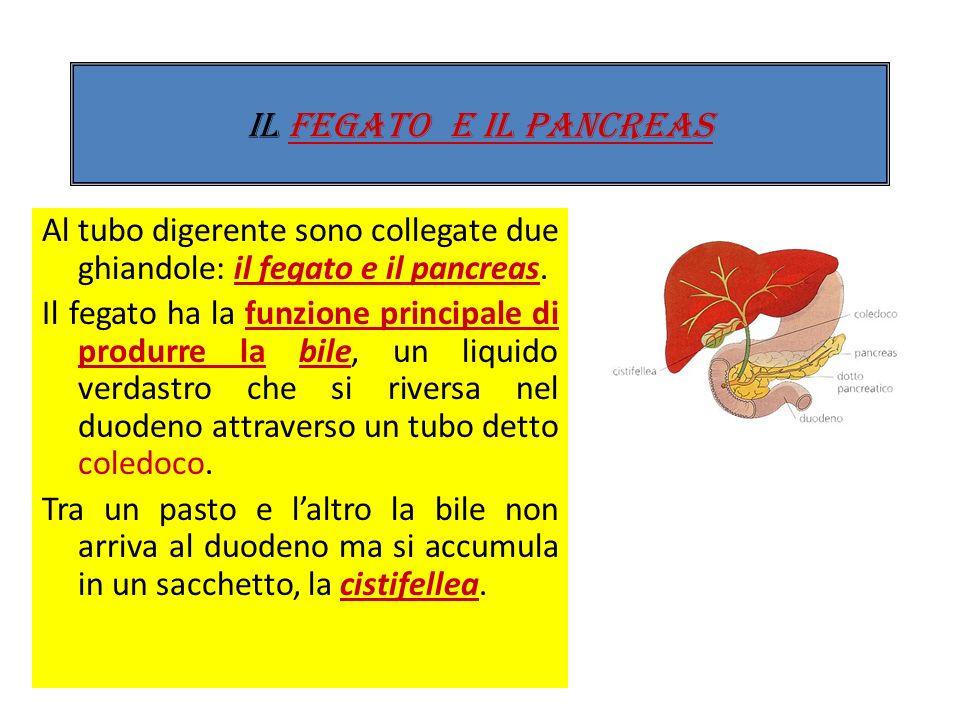 IL FEGATO E IL PANCREAS Al tubo digerente sono collegate due ghiandole: il fegato e il pancreas.