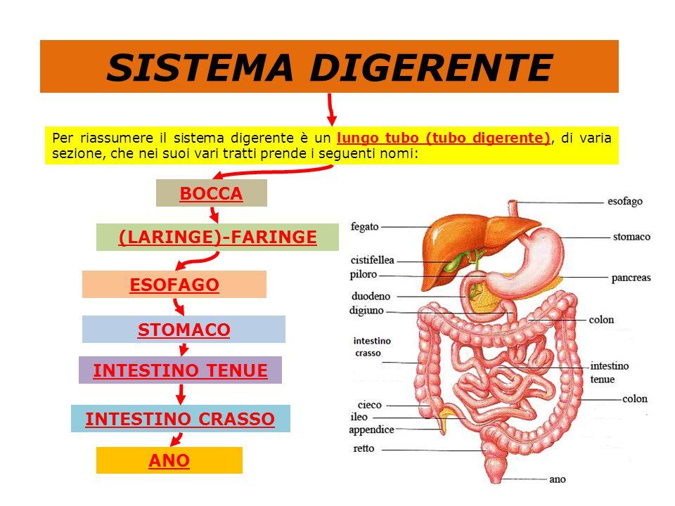 SISTEMA DIGERENTE BOCCA (LARINGE)-FARINGE ESOFAGO STOMACO