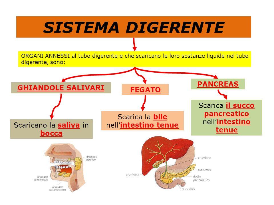 SISTEMA DIGERENTE PANCREAS GHIANDOLE SALIVARI FEGATO