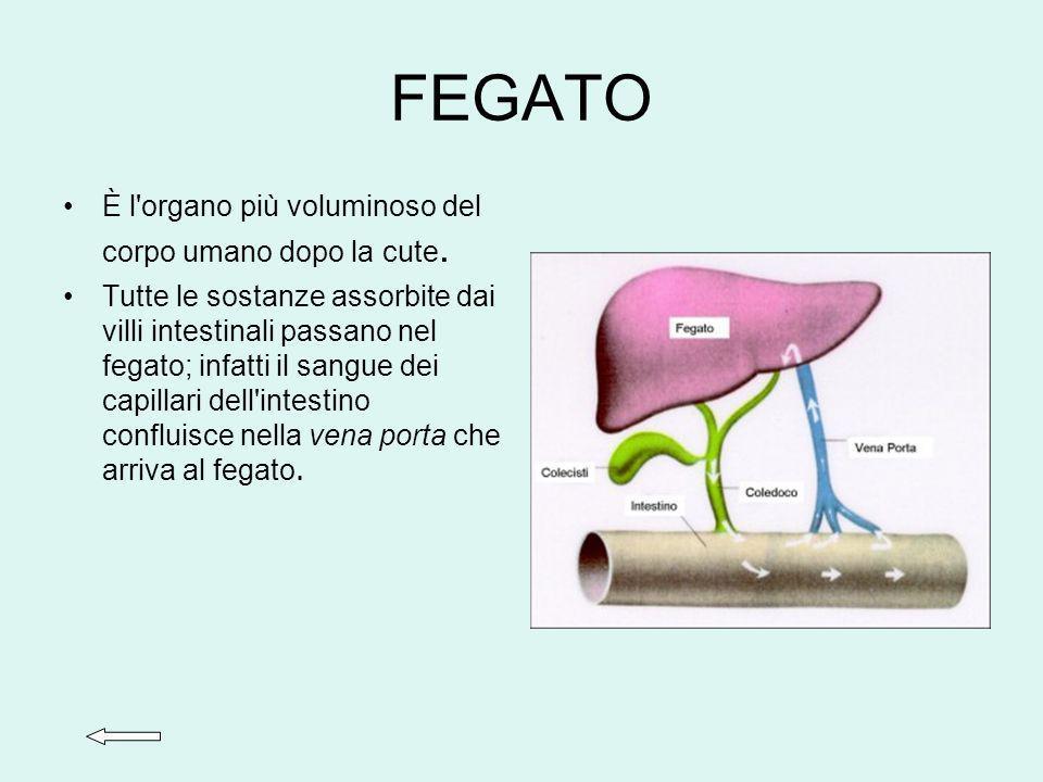 FEGATO È l organo più voluminoso del corpo umano dopo la cute.