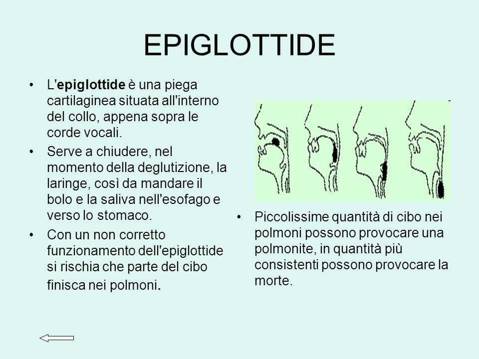 EPIGLOTTIDE L epiglottide è una piega cartilaginea situata all interno del collo, appena sopra le corde vocali.