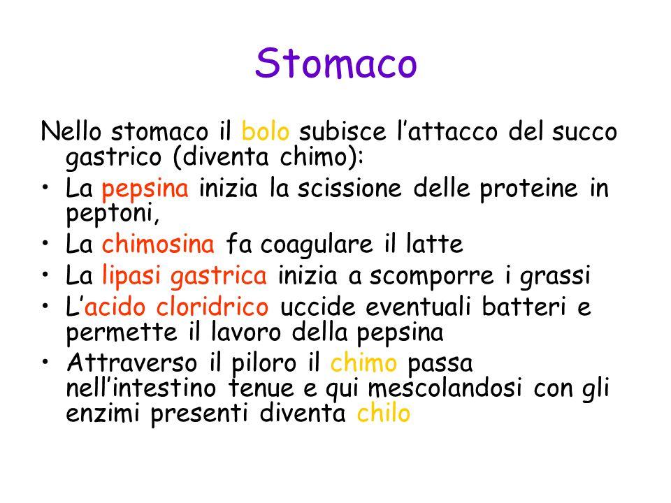 Stomaco Nello stomaco il bolo subisce l'attacco del succo gastrico (diventa chimo): La pepsina inizia la scissione delle proteine in peptoni,