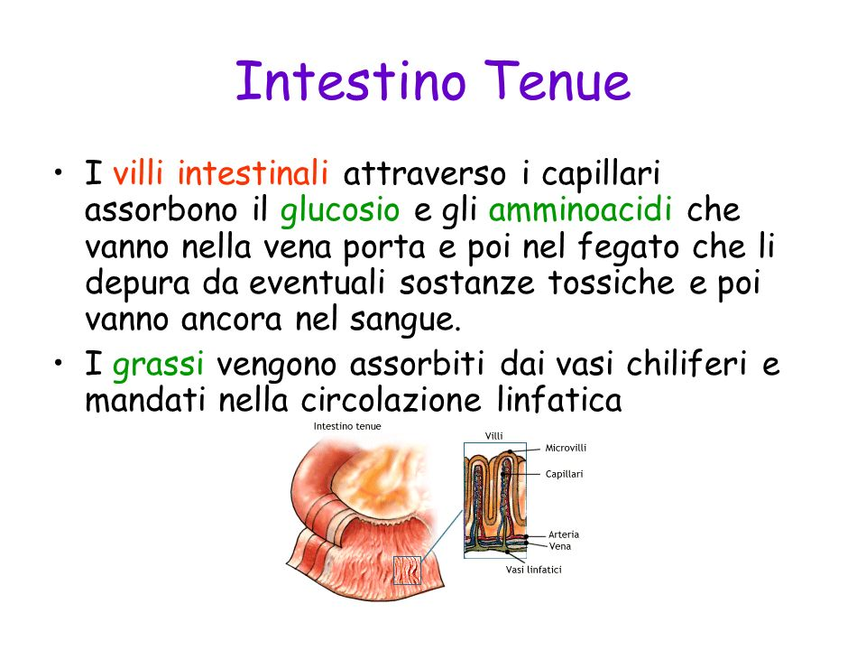 Intestino Tenue