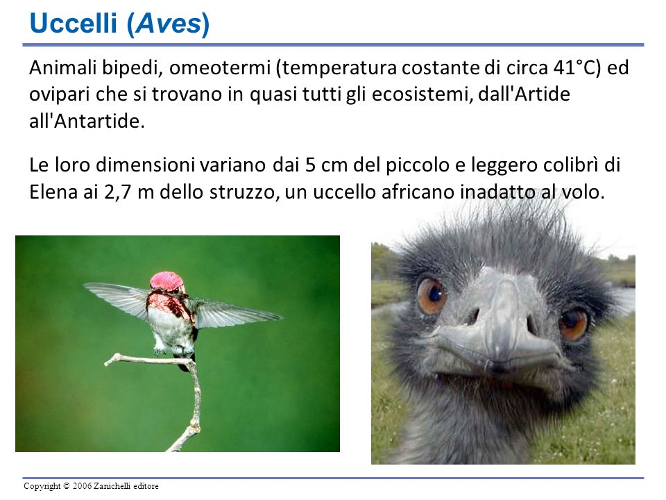 Uccelli (Aves)