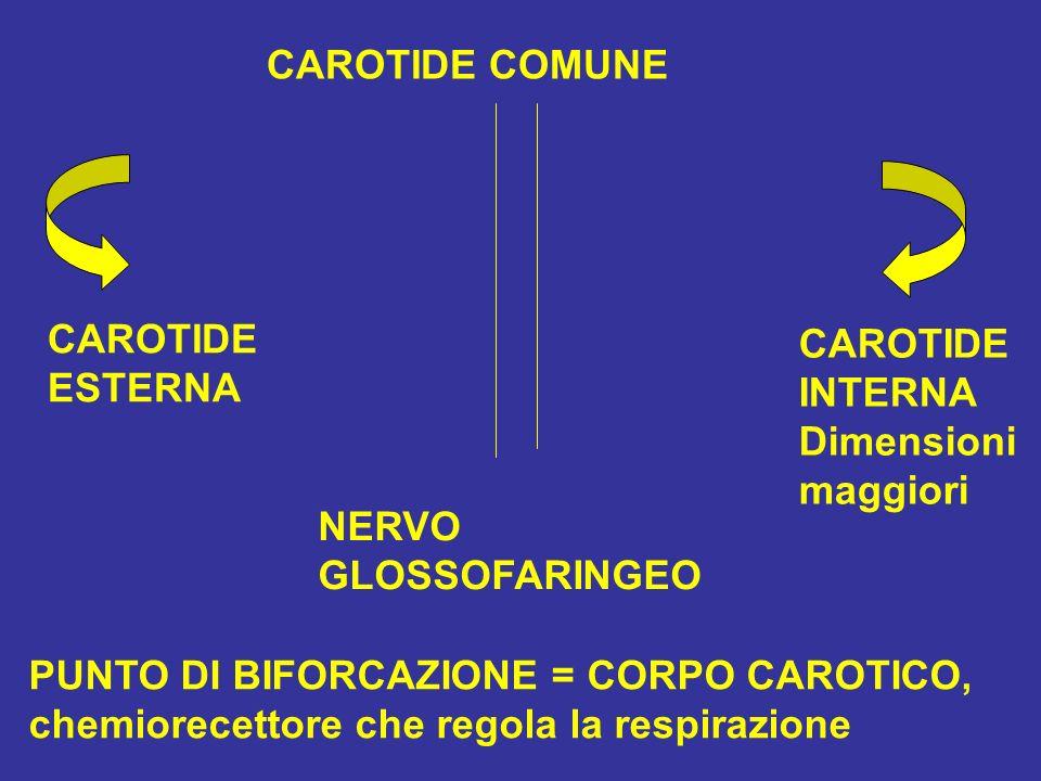 CAROTIDE COMUNE CAROTIDE. ESTERNA. CAROTIDE. INTERNA. Dimensioni. maggiori. NERVO. GLOSSOFARINGEO.